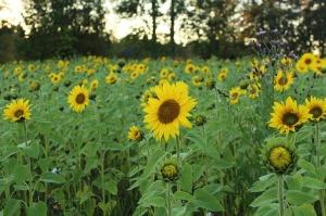 sunflower-744144_640